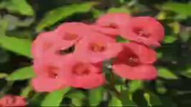 hoa xuong rong - thanh thanh