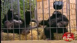 just for laughs gags - gorilla pranking humans - vol 7 - v.a