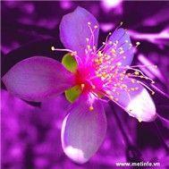 tinh khuc hoa sim - v.a