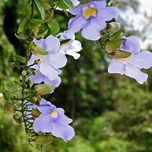 hoa cat dang - trung hau