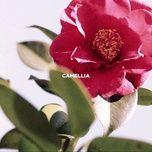 Tải bài hát Camellia Mp3
